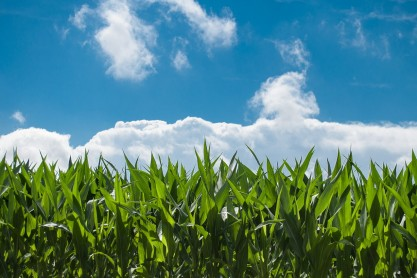 corn-field-440338_1280